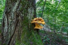 Il fungo dell'esca Immagine Stock