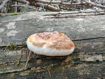Il fungo della foresta fotografie stock
