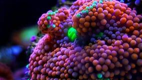 Il fungo di Ricordea è uno di coralli di fungo più bei nel mondo acquatico fotografie stock