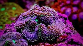 Il fungo di Ricordea è uno di coralli di fungo più bei nel mondo acquatico fotografia stock