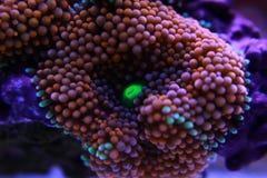 Il fungo di Ricordea è uno di coralli di fungo più bei nel mondo acquatico immagini stock libere da diritti