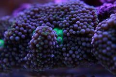 Il fungo di Ricordea è uno di coralli di fungo più bei nel mondo acquatico immagini stock