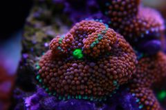 Il fungo di Ricordea è uno di coralli di fungo più bei nel mondo acquatico fotografia stock libera da diritti