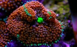 Il fungo di Ricordea è uno di coralli di fungo più bei nel mondo acquatico immagine stock