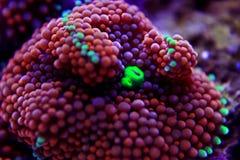 Il fungo di Ricordea è uno di coralli di fungo più bei nel mondo acquatico fotografie stock libere da diritti