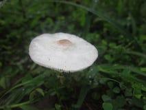 Il fungo in pioggia intermitten Fotografia Stock Libera da Diritti