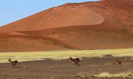 Il funzionamento dell'antilope saltante fotografie stock libere da diritti