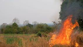 Il fuoco che brucia l'erba si spargerà alla foresta che causerà il grandi danno e pericolo archivi video