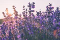Il fuoco molle di lavanda fiorisce nell'ambito della luce dell'alba fotografia stock
