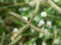Il fuoco selettivo del fiore dell'erba con verde ha offuscato il fondo Immagine Stock Libera da Diritti