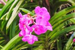 Il fuoco selettivo dell'orchidea porpora fiorisce Cypripedioideae immagini stock