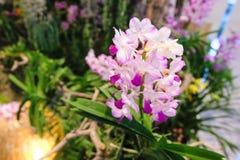 Il fuoco selettivo dell'orchidea porpora fiorisce Cypripedioideae fotografia stock libera da diritti