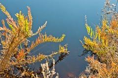 Il fuoco selettivo delle piante succulenti selvatiche di Sedum con i germogli di fiore rossi che toccano l'acqua sorge, scorre, s Fotografia Stock