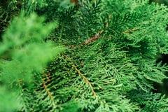 Il fuoco selettivo, fine sul punto di vista del pino va Immagine Stock Libera da Diritti