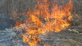 Il fuoco selvaggio pericoloso in natura, brucia l'erba asciutta Erba nera bruciata nella radura della foresta video d archivio