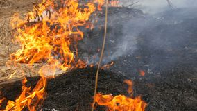 Il fuoco selvaggio pericoloso in natura, brucia l'erba asciutta Erba nera bruciata nella radura della foresta archivi video