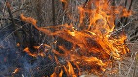 Il fuoco selvaggio pericoloso in natura, brucia l'erba asciutta Erba nera bruciata nella radura della foresta stock footage