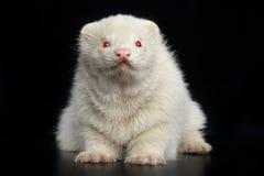 Il furetto dell'albino si siede sul pavimento scuro Immagini Stock Libere da Diritti