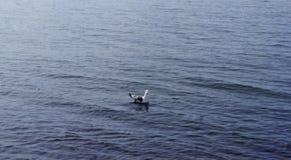 Il gabbiano arrabbiato solo nuota nell'acqua dell'estate fotografia stock libera da diritti