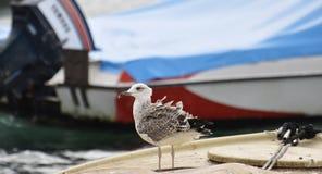 Il gabbiano che si siede sulla barca con le piume che soffiano nella vittoria Fotografia Stock Libera da Diritti