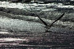Il gabbiano che vola su porta la speranza e l'ottimismo Non dia mai in su Fotografia Stock Libera da Diritti