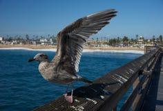 Il gabbiano della California decolla fotografie stock