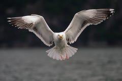 Il gabbiano di appoggio il grande nero sta volando, la Norvegia immagini stock libere da diritti