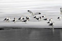 Il gabbiano di mare fa l'atterraggio sul ghiaccio con la moltitudine Fotografia Stock