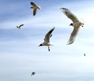 Il gabbiano durante il volo sopra Th Immagini Stock Libere da Diritti