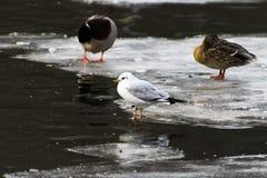 Il gabbiano ed il germano reale ducks sul ghiaccio nel lago Fotografia Stock