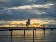 Il gabbiano gode di un tramonto Fotografie Stock Libere da Diritti