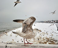 Il gabbiano ha cominciato volare Fotografia Stock Libera da Diritti