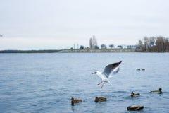 Il gabbiano intercetta l'alimento alle anatre sopra il lago Fotografia Stock Libera da Diritti