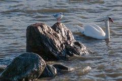 Il gabbiano osserva il nuoto del cigno vicino fotografie stock