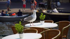 Il gabbiano si siede sul caffè della tavola stock footage