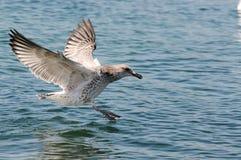 Il gabbiano si siede sull'acqua. fotografie stock