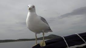 Il gabbiano si siede sull'yacht e mangia il cracker dalla mano dell'uomo in oceano archivi video