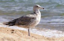 Il gabbiano solo sta su una spiaggia sabbiosa immagini stock libere da diritti