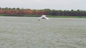 Il gabbiano sorvola lentamente la superficie del fiume Un forte vento non lascia una mosca dell'uccello L'uccello sale in un post stock footage
