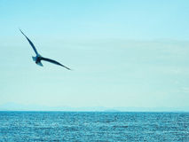 Il gabbiano sta volando sopra il mare Fotografia Stock Libera da Diritti