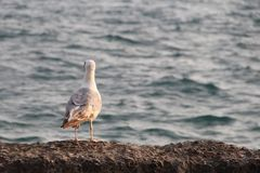 Il gabbiano sul mare blu esamina la distanza immagini stock libere da diritti