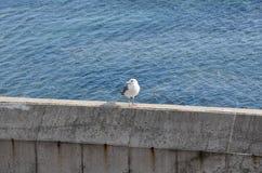 Il gabbiano sull'isola di Jeju Fotografia Stock Libera da Diritti