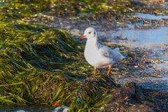Il gabbiano sulla spiaggia guada sopra le alghe fotografia stock libera da diritti