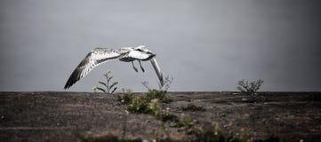 Il gabbiano vola dal pilastro Fotografie Stock Libere da Diritti