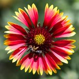Il Gaillardia indigeno del fiore immagini stock