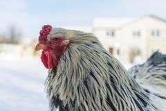 Il gallo adulto cammina nella neve fredda Fotografia Stock Libera da Diritti