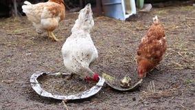 Il gallo bianco e le galline variegate beccano il grano dalla depressione video d archivio