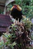 Il gallo del girarrosto sta dormendo sull'albero Fotografie Stock Libere da Diritti