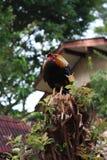 Il gallo del girarrosto sta dormendo sull'albero Fotografia Stock