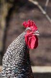 Il gallo del rubinetto sta cantando Fotografia Stock